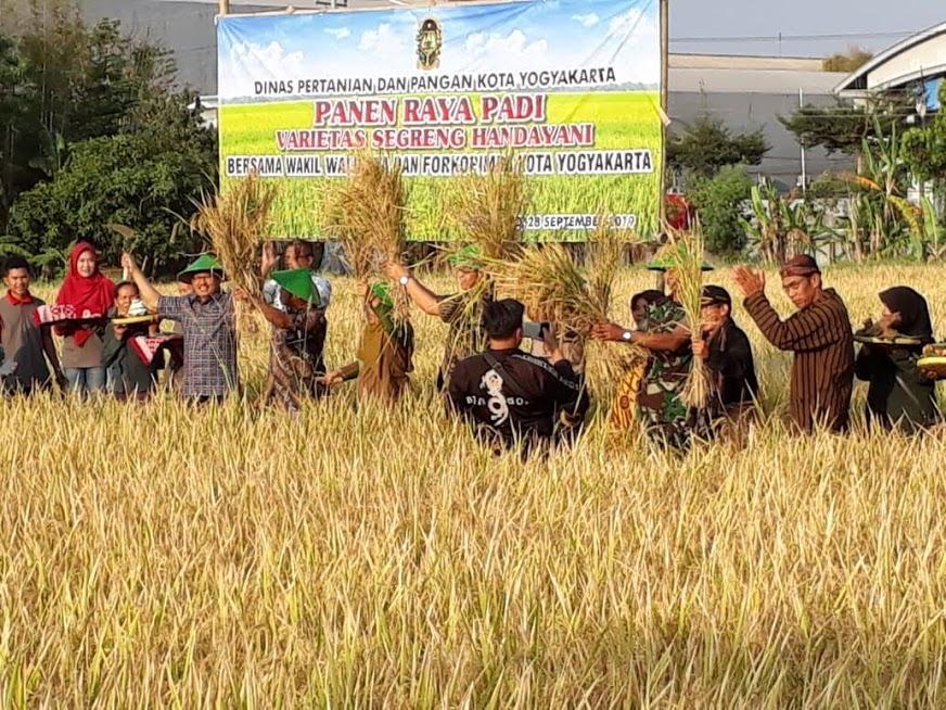 Panen Raya Padi Varietas  SEGRENG HANDAYANI Bersama Wakil Walikota Yogyakarta
