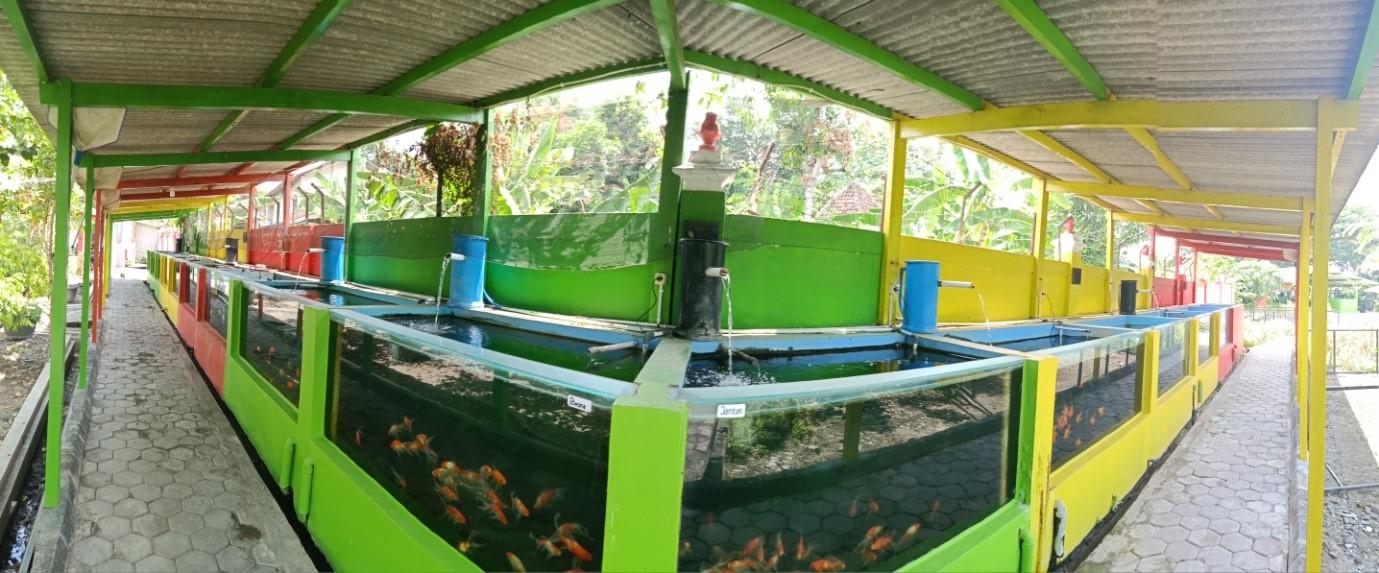 BBI Nitikan, Pusatnya Ikan Hias Berkualitas dan Murah di Kota Yogyakarta