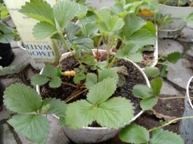 Budidaya Strawberry Di Dataran Rendah